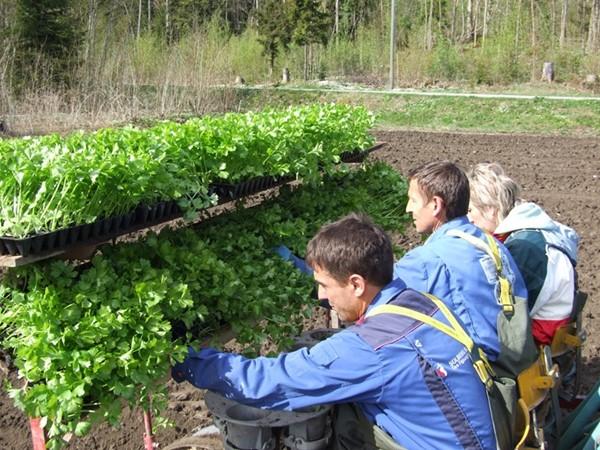 Stangselleri planting  2008